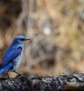 Mtn-Bluebird
