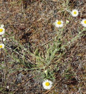 Long-leafed-Daisy