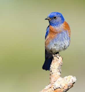 Western Bluebird, Oregon, US